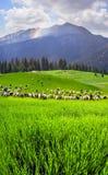 Pecore sulla montagna Pip Ivan Marmarosh Immagini Stock Libere da Diritti