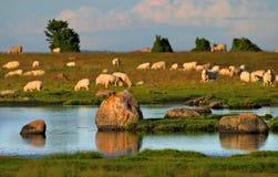 Pecore sulla spiaggia Immagini Stock