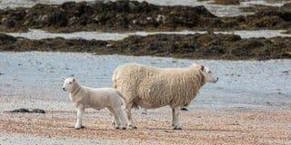 Pecore sulla spiaggia sull'isola di letame immagine stock