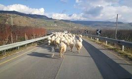 Pecore sulla strada Immagine Stock Libera da Diritti