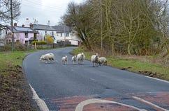 Pecore sulla strada Fotografie Stock Libere da Diritti