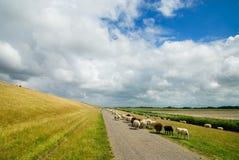 Pecore sulla strada Fotografie Stock
