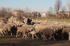 Pecore sulla strada Immagini Stock Libere da Diritti