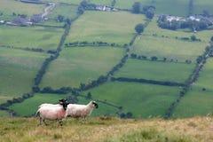 Pecore sulle colline fotografia stock