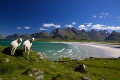 Pecore sulle isole di Lofoten Immagini Stock Libere da Diritti