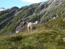 Pecore sulle montagne del ghiacciaio alpino Immagini Stock