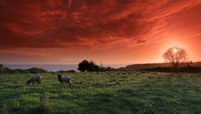 Pecore sulle scogliere della costa basca Immagine Stock