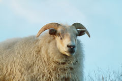 Pecore sveglie Fotografie Stock