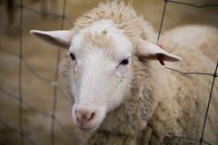 Pecore sveglie Immagine Stock