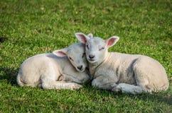 Pecore sveglie di rilassamento di Texel Immagine Stock