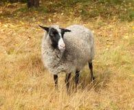 Pecore sveglie sul pascolo di autunno Immagini Stock Libere da Diritti