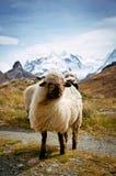 Pecore svizzere di Blacknosed (ovis aries), alpi svizzere Fotografie Stock Libere da Diritti