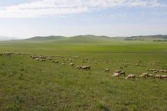 Pecore in terreno coltivabile fotografie stock libere da diritti