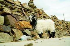 Pecore tibetane Fotografie Stock Libere da Diritti