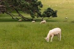 Pecore tosate che pascono immagini stock libere da diritti