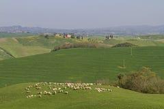Pecore in Toscana Immagine Stock Libera da Diritti
