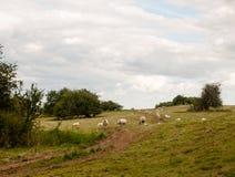 Pecore in un'agricoltura esterna del prato della collina britannica del pascolo Immagine Stock