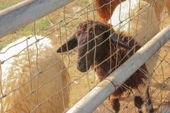 Pecore in un'azienda agricola Immagine Stock