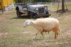 Pecore in un'azienda agricola Immagini Stock