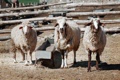 Pecore in un'azienda agricola Fotografia Stock Libera da Diritti