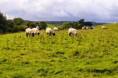 Pecore in un campo Fotografie Stock Libere da Diritti