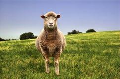 Pecore in un campo Immagine Stock Libera da Diritti