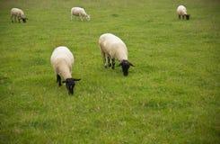 Pecore in un campo Fotografie Stock