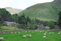 Pecore in un campo Fotografia Stock Libera da Diritti