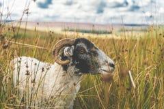 Pecore in un campo di erba fotografia stock