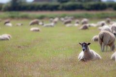 Pecore in un campo Scena agricola rurale di pascolo del anima dell'azienda agricola Immagini Stock