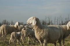 Pecore in un giorno di inverno immagini stock
