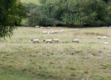 Pecore in un'intestazione britannica del prato del pascolo in una direzione Immagine Stock Libera da Diritti
