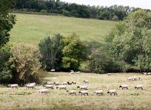 Pecore in un'intestazione britannica del prato del pascolo in una direzione Fotografie Stock