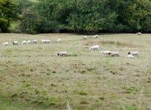 Pecore in un'intestazione britannica del prato del pascolo in una direzione Fotografia Stock Libera da Diritti