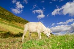 Pecore in un paesaggio degli altopiani con i cieli blu Fotografia Stock