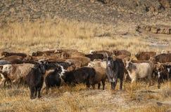 Pecore in un paesaggio del monolia occidentale fotografia stock