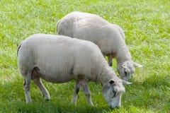 Pecore in un pascolo Fotografie Stock