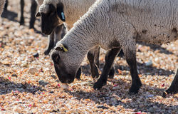 Pecore in un pascolo che mangiano le cipolle Immagine Stock