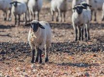 Pecore in un pascolo che mangiano le cipolle Immagini Stock