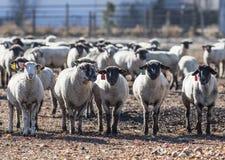 Pecore in un pascolo che mangiano le cipolle Fotografie Stock Libere da Diritti