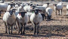 Pecore in un pascolo che mangiano le cipolle Fotografia Stock Libera da Diritti