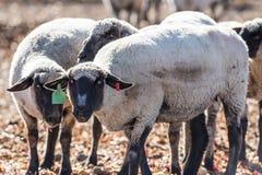 Pecore in un pascolo che mangiano le cipolle Fotografia Stock