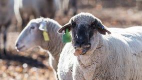 Pecore in un pascolo che mangiano le cipolle Immagine Stock Libera da Diritti
