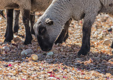 Pecore in un pascolo variopinto che mangiano le cipolle Fotografia Stock Libera da Diritti