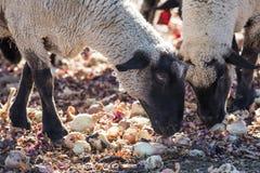 Pecore in un pascolo variopinto che mangiano le cipolle Immagine Stock