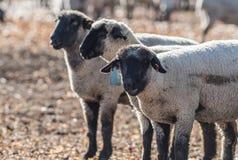 Pecore in un pascolo variopinto che mangiano le cipolle Fotografie Stock Libere da Diritti