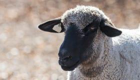 Pecore in un pascolo variopinto che mangiano le cipolle Immagini Stock Libere da Diritti