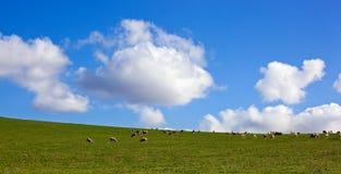 Pecore in un prato Fotografia Stock Libera da Diritti