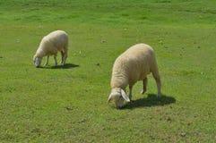 Pecore in un prato Immagine Stock