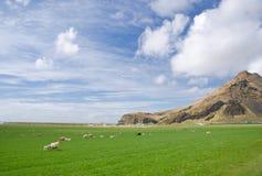 Pecore in un prato Fotografia Stock